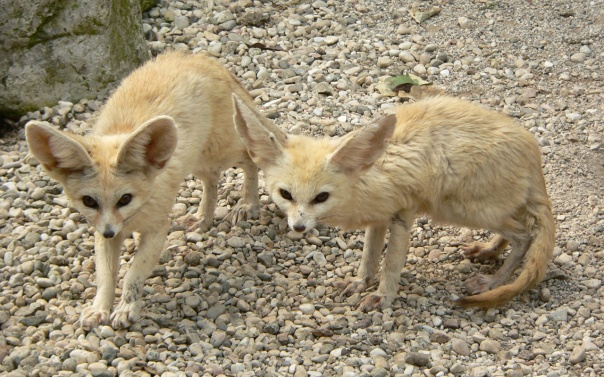Fennec_Foxes