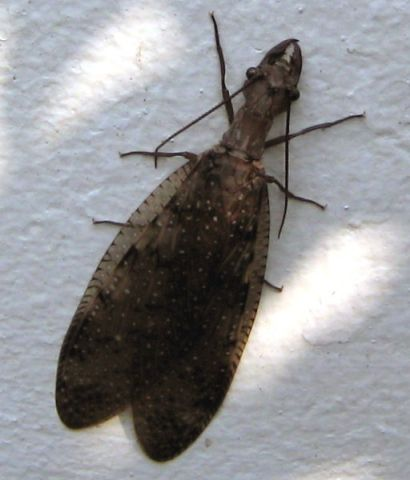 Female eastern Dobsonfly via Wiki, by SheepNotGoats