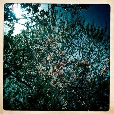 Backyard crab-apple getting ready to burst forth!