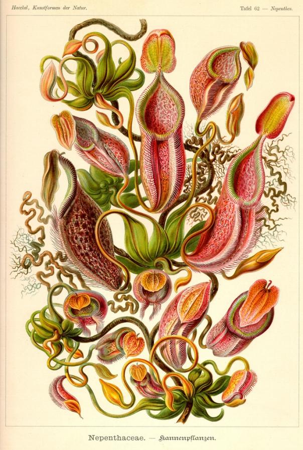 Nepenthes (Pitcher Plants) by Ernst Haeckel in Kunstformen der Natur.