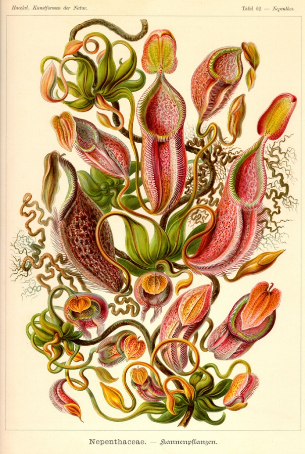 Nepenthes (Pitcher Plants) by Ernst Haeckel in Kunstformen der Natur.