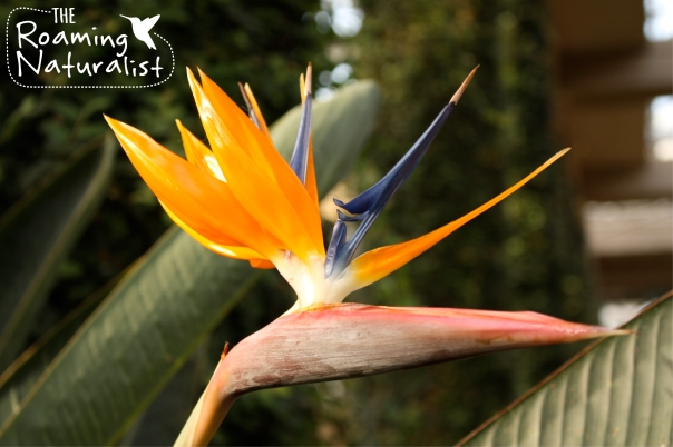 Bird of Paradise (Strelitzia spp)