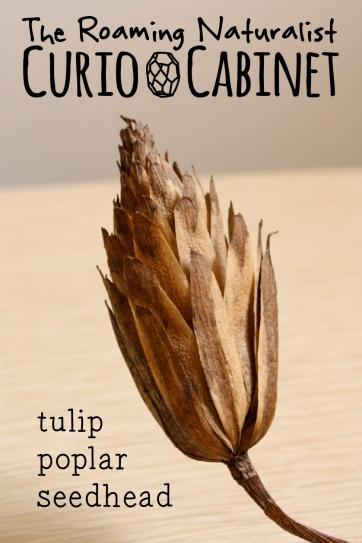 CC tuliptree seed