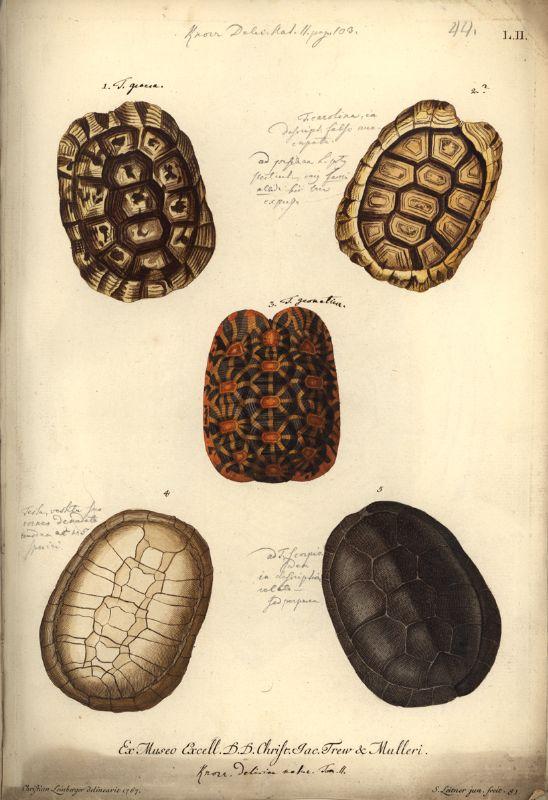 Historische Bild- und Schriftgutsammlungen des Museums für Naturkunde - Bestand: Zool. Mus. Signatur: SI, Nachl. Schoepf II, Bl. 60