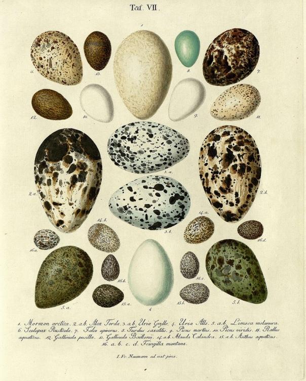 Die Eier der Vögel Deutschlands b, 1818