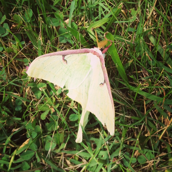 Luna Moth, courtesy of Ranger S. Andrucyk, Maryland Park Service.