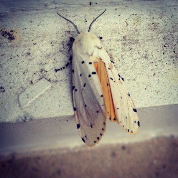 White Ermine Moth, Spilosoma lubricipeda. Photo courtesy of Ranger S. Andrucyk, Maryland Park Service.